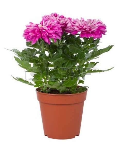 roses tremieres en pots flower pot part 2 weneedfun