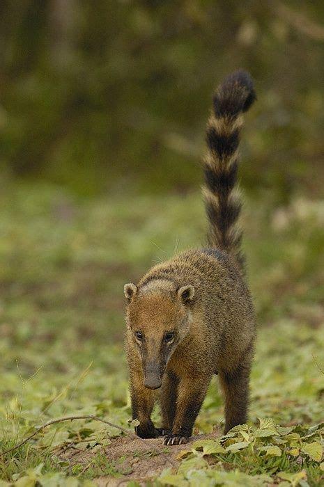 animal planet official site coatimundi rare animals