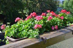Balkonpflanzen Winterfest Machen : nordbalkon bepflanzen pflanzen pflegehinweise f r den ~ Watch28wear.com Haus und Dekorationen