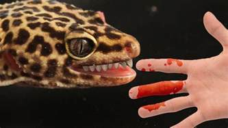 how to stop your leopard gecko biting you youtube