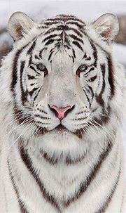 Pin by Bruna Nunes on All things NATURE   Tiger images ...