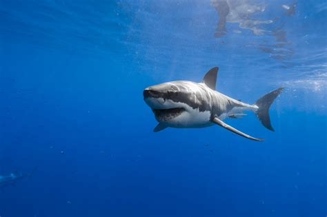 Shark Animated Wallpaper - great white shark hd wallpapers high quality