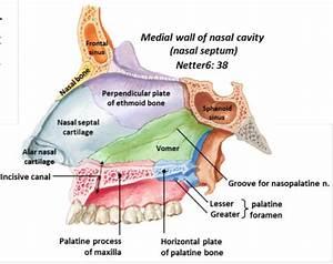 Palate, Nasal Cavity, and Sinuses at Texas A&M Health ...
