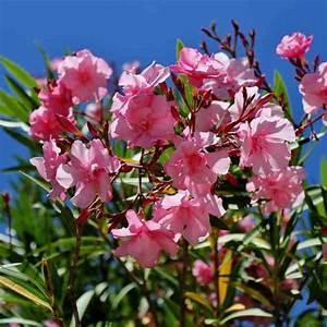 Laurier Rose Entretien : laurier rose plantation taille et conseils d 39 entretien ~ Melissatoandfro.com Idées de Décoration