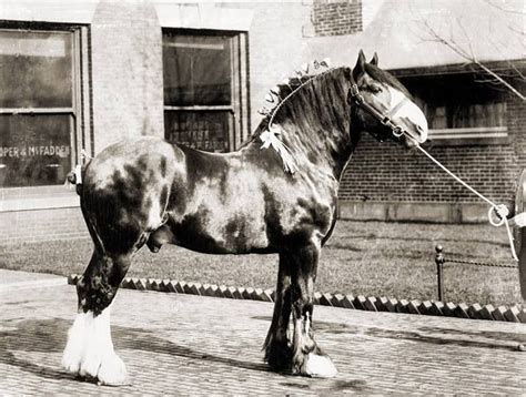 horse shire horses looks gentle giant