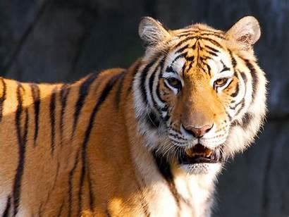 Tiger Wallpapers Standard
