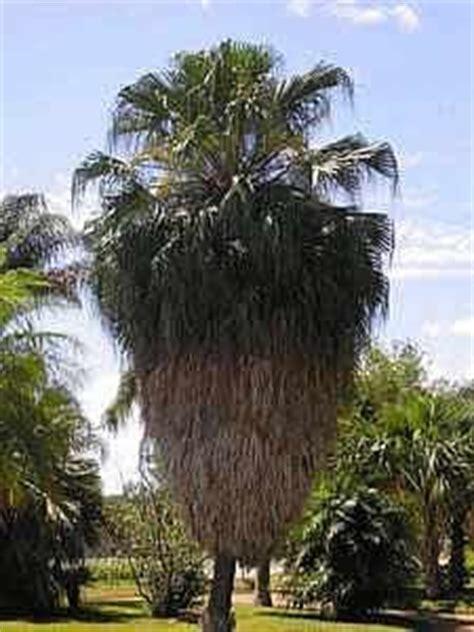 Palmeira-de-saia - Washingtonia filifera - Jardineiro.net