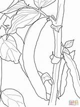 Coloring Bean Beans Pages Printable Plant Sprout Pbs Drawing Kidney Runner Sketch Sheets Tree Getdrawings Supercoloring Ausmalen Vegetable Popular Malvorlagen sketch template