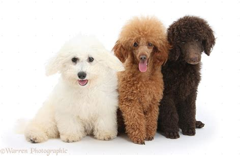 Poodle Wallpapers High Quality