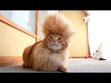 Super Funny Videos  Cats You Will Remember And Laugh All