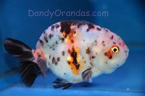 calico lionhead ranchu goldfish   Goldfish