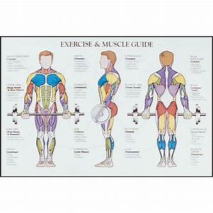 Muscle Exercise  Exercise Muscle Chart