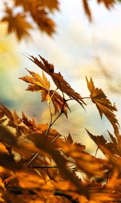 dry brown leaves wallpaper hd wallpaper background