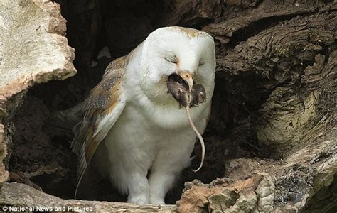 Do Barn Owls Eat Cats by Barn Owl Enjoys A Spot Of Dinner Right To The Mouse