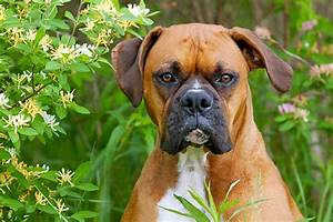 boxer - Animal Stock Photos - Kimballstock
