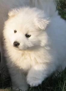 17 Best ideas about Miniature Puppies on Pinterest | Mini ...