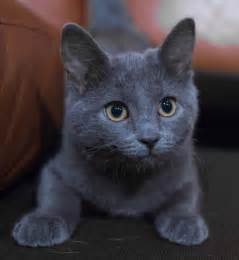 russian blue cat for she puts the quot blue quot in russian blue russian blue