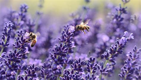lavender for flies 8 useful herbs that also repel bugs old fashioned families