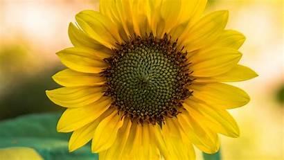 Sunflower Flower Yellow Blur 1080p Background 4k