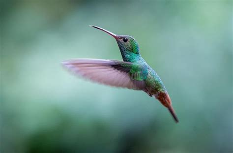 the most common hummingbird i saw in costa rica was this
