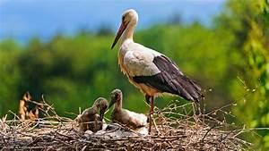 stork babies bird nest parent hd widescreen wallpaper ...