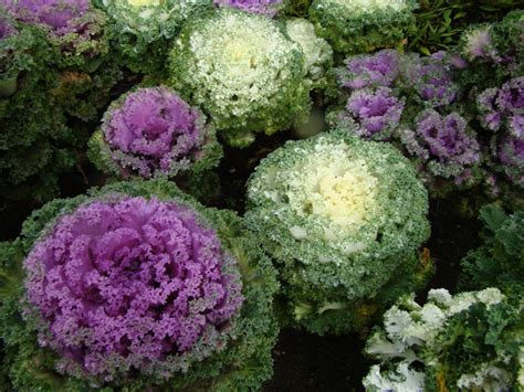 decorative cabbage and kale ornamental kale cabbage project noah