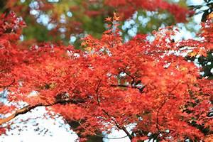 Japanischer Ahorn Im Kübel : japanischer ahorn im steckbrief ~ Michelbontemps.com Haus und Dekorationen