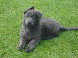 Blue German Shepherd for Sale with Cost and Breeders