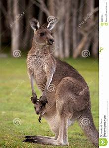 Kangaroo Mum With A Baby Joey In The Pouch Royalty Free ...