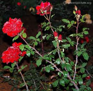 Black Rose Flower Plant