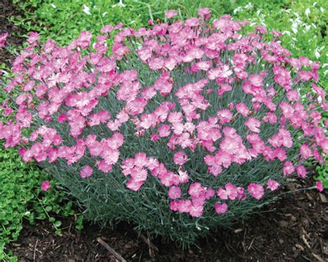 perennial plants opinions on perennial plant