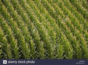 Aerial close up view of an American corn maize field with ...