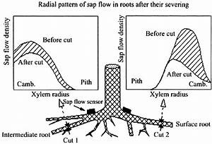 Schematic Diagram Of A Tree Root System During Sap  U0304ow