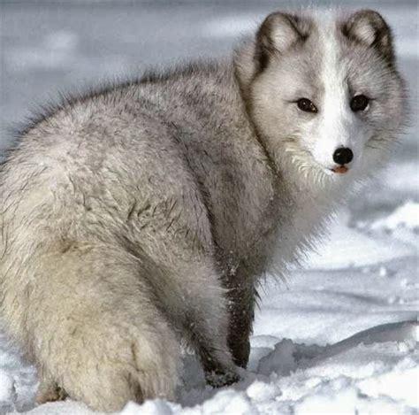 arctic fox  cute animals beautiful cute
