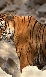 'Tigerless' tiger reserve in Rajasthan to get first tigers