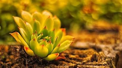 Cactus Succulent Wallpapers Widescreen Desktop Phone 4k