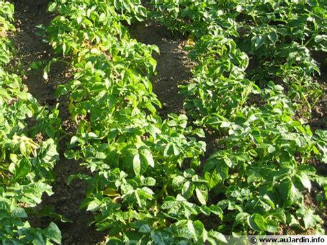Planter Des Pommes De Terre Avec La Lune by Cultiver Les Pommes De Terre Selon La Lune
