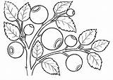 Coloring Blueberries Berries Fruits Valley Coloringtop Lily sketch template