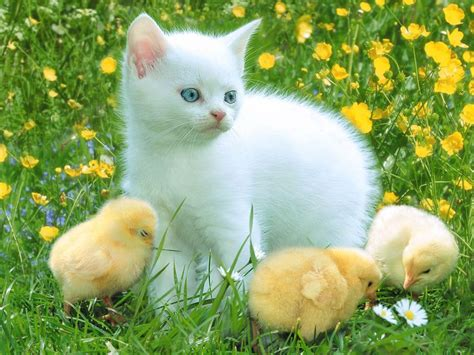 Funny Chicks And White Cat  Best Wallpapers
