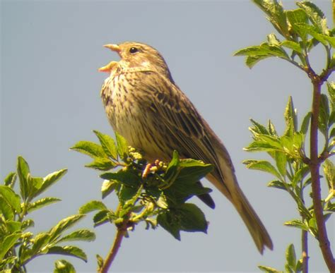 bird quizzes buntings sparrows and starlings