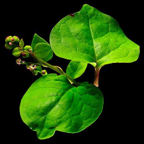 Bindemittel Anwendung by Verwendung Bindemittel Flora Obscura