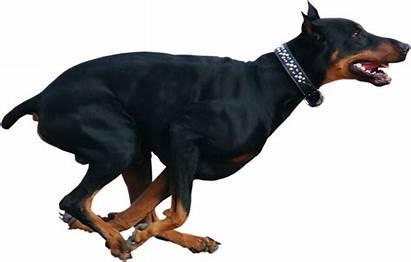 Running Dog Doberman Psd