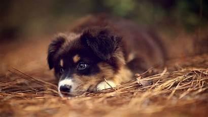 Shepherd German Puppies Wallpapers Backgrounds Wallpaperaccess Definition