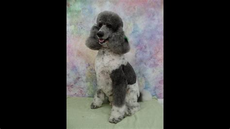 parti colored indy the standard parti colored poodle celebrated his 7th