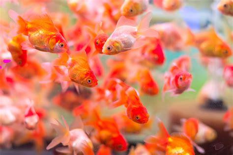 poisson dans un aquarium 28 images petits poissons d or dans un aquarium rond images stock