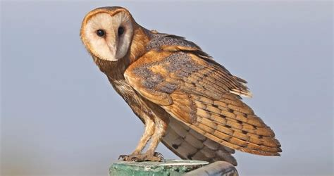 Barn Owl Overview, All About Birds, Cornell Lab Of Ornithology