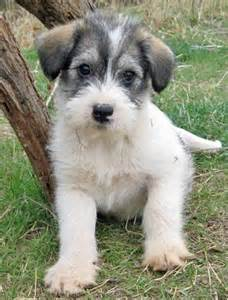 Mixed Small Dog Breeds Puppies