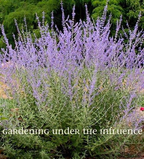 russian plant gardening under the influence russian sage a plant that even a czar would envy