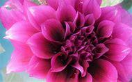 Magenta Color Flowers