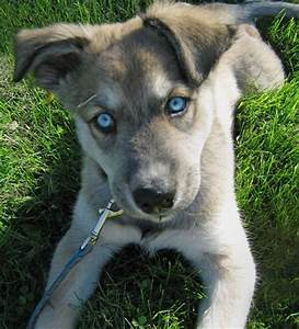Husky, German shepherds and German shepherd mix on Pinterest